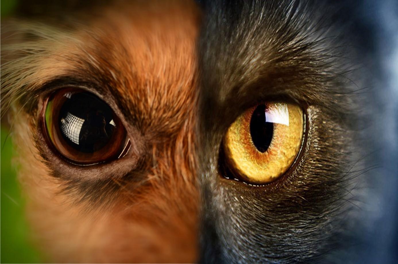 Kedi ve Köpeklerde Görülen En Yaygın Göz Kapağı Anomalisi; ENTROPİUM